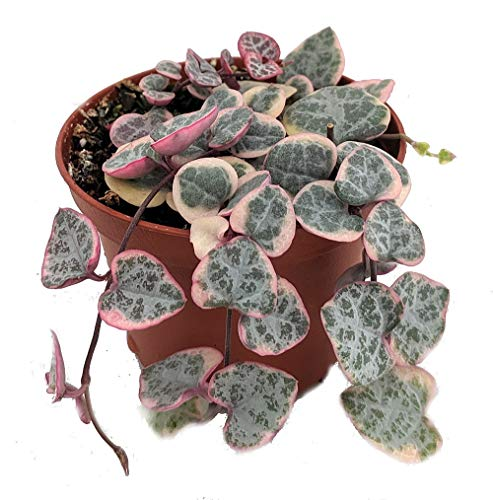 """Pearl Moon Rosary Vine - Ceropegia woodii Pretty Pk- String of Hearts - 2.5"""" Pot"""