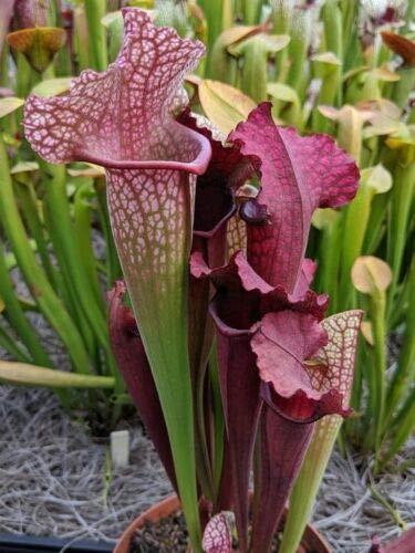 Live Carnivorous Pitcher Plant Sarracenia 'Juthatip Soper' - Bare Root Rhizome