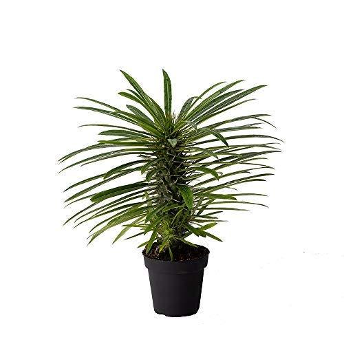 """American Plant Exchange Madagascar Palm Exotic Specimen Live Plant, 4"""" Pot, Indoor Bonsai Succulent"""