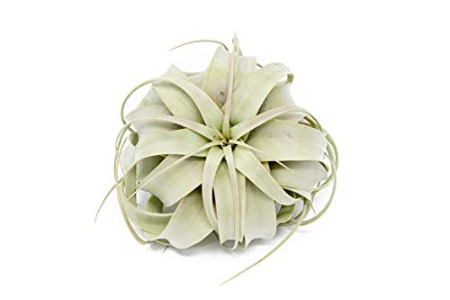 Large Xerographica Air Plants