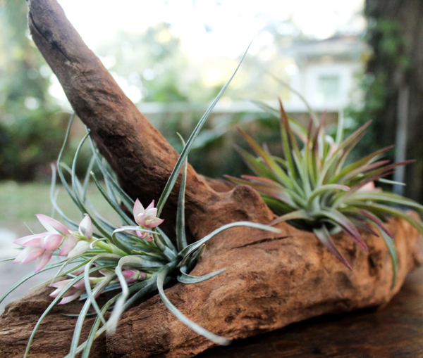 Air Plant Club - $10 Monthly Starter Subscription Box