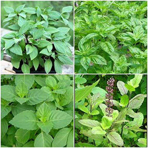 Live Plant - Holy Basil Plant Tulsi