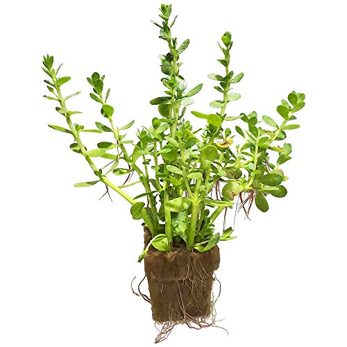 The Sun Ave Bacopa Monnieri Moneywort Freshwater Live Aquarium Plants Stems with Roots (1 Pack)