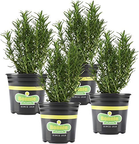 Bonnie Plants Rosemary Live Edible Aromatic Herb Plant - 4 Pack