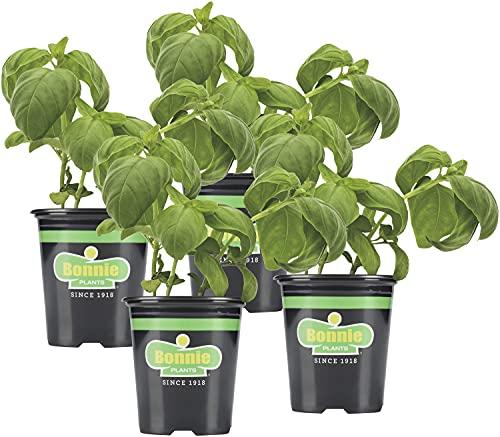 Bonnie Plants Sweet Basil (Genovese) Live Herb Plants